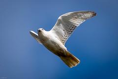 Gyrfalcon, white morph, Quidi Vidi Lake (frank.king2014) Tags: ca canada stjohns whitemorph gyrfalcon newfoundlandandlabrador