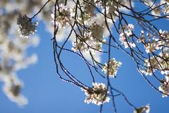IMG_9372 (elenafrancesz) Tags: uw cherry blossoms wordless