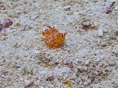 Small Nudibranch (someofmypics) Tags: vacation philippines bikini manila scubadiving wickedweasel ikelite panasonictz60