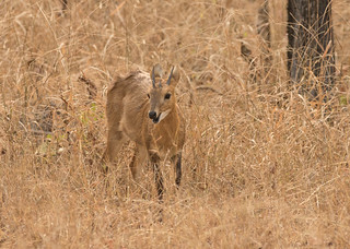 Chousingha (Four-horned Antelope) - Tetracerus quadricornis