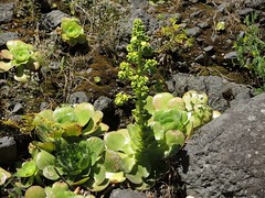 Rosettendickblatt im Barranco de la Madera, La Palma, NGID438652354 (naturgucker.de) Tags: aeoniumarboreum rosettendickblatt naturguckerde cwolfgangkatz 1038097865 1062798284 ngid438652354 1276610602