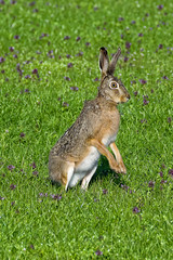 Watchful Hare (Alfred Grupstra Photography) Tags: flowers nature hare nederland nl clover noordholland oostwoud