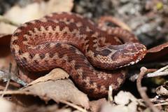 Adder Neonate (JRochester) Tags: snake hatfield british adder neonate vipera berus