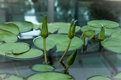 Lillie's (robden61) Tags: waterlillies adelaidebotanicalgardens