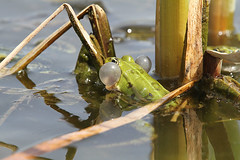 """froschschallblase • <a style=""""font-size:0.8em;"""" href=""""http://www.flickr.com/photos/137809870@N02/25835552174/"""" target=""""_blank"""">View on Flickr</a>"""
