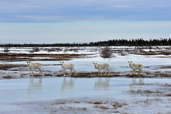 Curious Caribou (Zircon_215) Tags: ice newfoundland reflections deer caribou woodlandcaribou deerfamily rangifertarandus northernnewfoundland cooksharbourhighway