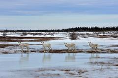 Curious Caribou (Zircon_215) Tags: ice newfoundland reflections deer caribou woodlandcaribou deerfamily rangifertarandus northernnewfoundland cooksharbourhighway