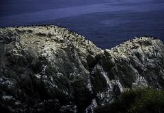Pelagic Cormorant Habitat (woodchuckiam) Tags: ocean flowers seagulls seascape oregon island scenic rocky pacificocean clifs matingseason coastaloregon pelagiccormorants woodchuckiam whitebreastpatches