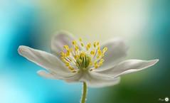 Interestingness! (Trayc99) Tags: flower macro closeup canon interestingness flora colours bokeh decorative pastel anemone bloom serene colourful delicate floralart woodanemone flowerphotography