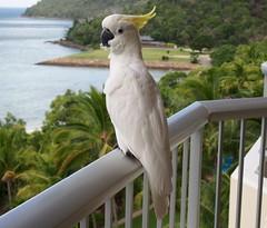 Sulphur-Crested Cockatoo, Hamilton Island, Australia (davidpetergibbins) Tags: