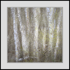 Birch Stand (Gibbom) Tags: wood trees white me leaves woodland stand spring bark pearl birch trunks impression burnhambeeches
