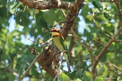 Chestnut-headed Bee-eater - Yala National Park Sri Lanka (WanderingPhotosPJB) Tags: birds sri lanka srilanka yala nationalpark bird chestnutheadedbeeeater beeeater