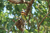 Chestnut-headed Bee-eater - Yala National Park Sri Lanka (WanderingPJB) Tags: birds sri lanka srilanka yala nationalpark bird chestnutheadedbeeeater beeeater 7dwf