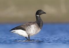 Margs - Brent Goose - Branta bernicla (Baddi89) Tags: bird nature birds animal iceland wildlife fugl sland nttra dr brentgoose ncg brantabernicla fuglar margs