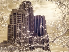 Nature vs Man Made (Explore, April 27) (Mildred Alpern) Tags: nyc sky building outdoors branches blossoms infrared blooms springtime