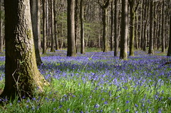 Damery Bluebells (sgreen757) Tags: blue sun sunshine bluebells bells forest woodland private spring woods nikon sunny gloucestershire glos damery michaelwood d7000