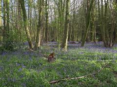 IMG_0188 (Joy Shakespeare) Tags: uk coventry woodlandtrust allesley elkinwood