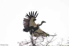 White-rumped Vulture (Deepu Cyriac) Tags: travel bird nature birds wildlife vulture tamilnadu westernghats masinagudi mudumalai indianforest whiterumpedvulture mudumalaiwildlifesanctuary