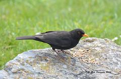 Blackbird (Turdus merula) (wok smuggler) Tags: bird animal rock feeding outdoor turdusmerula blackbird sigma18250 nikonnaturephotography nikond5200