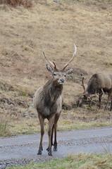 watching me, watching you. (BurnThePlans) Tags: camping wild scotland highlands stag glen deer loch van camper arkaig wildcamping vanlife