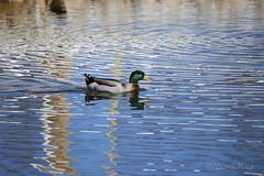 Mallard_MG_3127 (david.horst.7) Tags: bird nature water duck wildlife mallard waterfowl