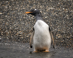 Gentoo Penguin (alicecahill) Tags: animal argentina bird gentoopenguin patagonia penguin southamerica tierradelfuego wild wildlife alicecahill droh dailyrayofhope