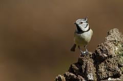 IMG_5234 Yvelines - Mésange huppée - Lophophanes cristatus (fabianvol) Tags: france bird animal forest tit aves bosque francia oiseau forêt pájaro mésange herrerillo passerine passereau