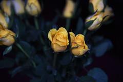 DSC_0770 Roses (PeaTJay) Tags: flowers roses plants macro nature rose gardens fauna reading flora indoors micro closeups berkshire rosebuds lowerearley nikond750
