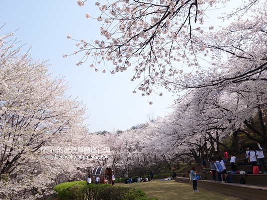 안산공원벚꽃05