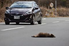 Japanese raccoon dog roadkill--08-(ASO)81-20160306-150631__ (HYLA 2009) Tags: taiwan yhhsu katechen kyushu japan  e{  aso roadkill  kurabaru kumamotoken     wildlife mammal  nyctereutesprocyonoides