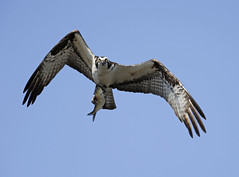 Osprey and fish in flight (Mawrter) Tags: wild fish motion bird nature canon outdoors wings fishing action outdoor wildlife birding flight wing raptor prey success osprey avian skill specanimal ospreywithfish outspread