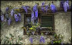 Glicini (celestino2011) Tags: muro natura finestra persiana glicine