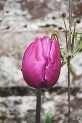 Purple tulip (Gondolin Girl) Tags: uk flowers plants flower nature floral garden botanical scotland pretty purple glasgow tulip southside kingspark walledgarden purpletulip