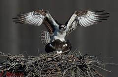 Mating of Osprey - l'accouplement des balbuzards pcheurs (skivoile) Tags: des mating osprey pcheurs laccouplement balbuzards