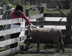 A bit sheepish, Kline Creek Farm. 4 (EOS) (Mega-Magpie) Tags: people usa chicago west america creek canon outdoors eos illinois sheep outdoor farm dupage il kline 60d