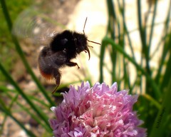 Chive bee (Nasaw views) Tags: bee bumblebee proboscis pollination naturesbeauty beemacro beetongue fantastickflashes chivebee