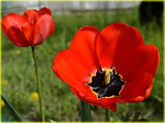 Tulip season in Bologna. For my dear Friend Irene (Valerio_D) Tags: tulip 1001nights tulipa tulipano 1001nightsmagiccity 2016primavera