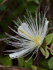Gynophore (Anurag N. Sharma) Tags: caper capparidaceae capparaceae gynophore capparisgrandiflorawallexhookfthomson