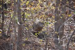 P1210998 (WhatsAllThisThen) Tags: woodchuck groundhog newark branchbrookpark