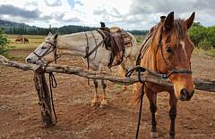 Horseback riding tours at Four Seasons Resorts Lanai (Andy BealPhoto.com) Tags: travel vacation horse hawaii samsung riding galaxy hawaiian horseback hdr lanai s6