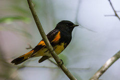 American Redstart in the Yard (johnip86) Tags: male bird home nature animal outdoors evening spring warm partlycloudy americanredstart