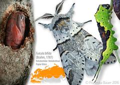 Poplar Kitten life stages (Franziska Bauer) Tags: moth lepidoptera caterpillar notodontidae pupa metamorphosis metamorphose furcula furculabifida poplarkitten