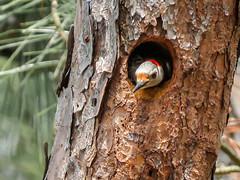 Woodpecker waiting for Dinner (backyardzoo) Tags: woodpecker nest landsend seapines woodperckers