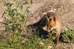 FoxSBahn-0113.jpg (mono-foto) Tags: wien tiere fuchs säugetiere