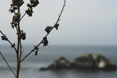 Faraway, So Close (AAcerbo) Tags: sanfrancisco california plants blur canon coast dof zoom horizon depthoffield telephoto oceanbeach desaturated foreground sealrock whithered shallowdepthoffocus