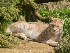P4230574-1 (nottsmember) Tags: cat zoo big european lynx whipsnade whipsnadezoo