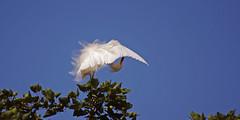 Preen (F.emme) Tags: birds snowyegret egrets