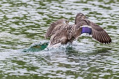 Splashdown (kevnkc2) Tags: park county duck spring pond nikon pennsylvania contemporary ducks sigma cumberland lightroom shippensburg d610 stdntsdoncooper 150600mm 150600f563