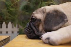 Sorrow Eyes (Dustin Pham) Tags: dog eyes pug sorrow