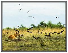 Helter Skelter (Crested Aperture Photography) Tags: africa nationalpark greatlakes uganda ug eastafrica queenelizabethnationalpark greatnature centralafrica africanwild crestedaperture